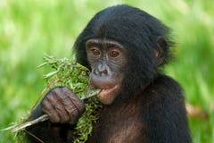 Карликовые шимпанзе есть бамбук демократическая республика Конго Национальный парк КАРЛИКОВОГО ШИМПАНЗЕ Lola Ya стоковые фото