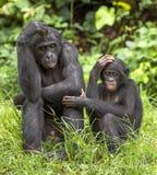 Карликовые шимпанзе (лоток Paniscus) на зеленой естественной предпосылке Стоковая Фотография RF