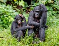 Карликовые шимпанзе Стоковая Фотография RF