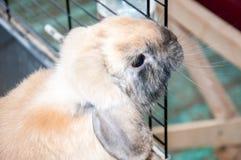Карликовый сатин Rex кролика стоковые изображения rf