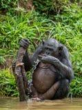 Карликовый шимпанзе выпивает воду стоковое фото