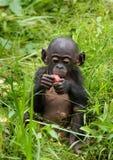 Карликовый шимпанзе младенца ест что-то демократическая республика Конго Национальный парк КАРЛИКОВОГО ШИМПАНЗЕ Lola Ya Стоковое фото RF