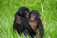 Карликовый шимпанзе 2 младенцев сидя на траве демократическая республика Конго Национальный парк КАРЛИКОВОГО ШИМПАНЗЕ Lola Ya Стоковая Фотография RF