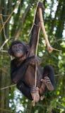Карликовый шимпанзе на дереве демократическая республика Конго Национальный парк КАРЛИКОВОГО ШИМПАНЗЕ Lola Ya Стоковое Изображение
