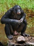 Карликовый шимпанзе около озера демократическая республика Конго Национальный парк КАРЛИКОВОГО ШИМПАНЗЕ Lola Ya стоковое фото