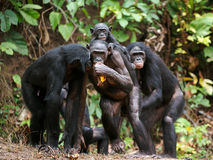 Карликовый шимпанзе шимпанзе (paniscus лотка) Стоковая Фотография RF