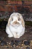 Карлик сокращает кролика. Стоковые Изображения
