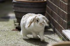 Карлик сокращает ушастого кролика Стоковая Фотография