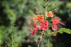 Карлик Poinciana красивый цветок Стоковое Изображение RF