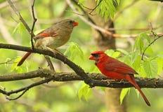 2 кардинала в дереве Стоковая Фотография RF