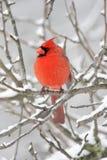 Кардинал в снежке Стоковое фото RF