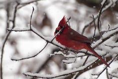 Кардинал в снежке Стоковое Изображение RF