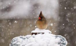 Кардинал в снежке Стоковое Изображение