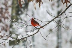 Кардинал в снежке стоковая фотография rf