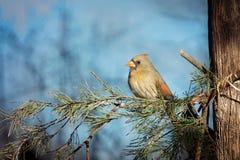 кардинальная женская северная Стоковая Фотография