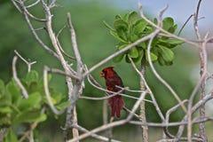 Кардинальная красная северная птица Стоковые Изображения RF