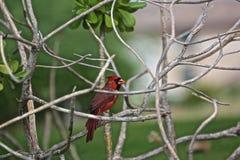 Кардинальная красная северная птица Стоковая Фотография