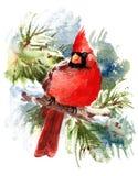 Кардинальная нарисованная рука иллюстрации зимы акварели птицы Стоковые Изображения RF