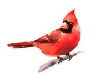 Кардинальная нарисованная рука иллюстрации зимы акварели птицы Стоковая Фотография RF