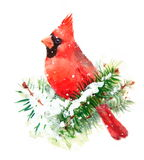 Кардинальная покрашенная рука иллюстрации рождества зимы акварели птицы Стоковое фото RF