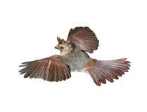 Кардинальная птица Стоковое Фото