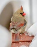 кардинальный женский снежок Стоковые Изображения