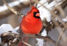 кардинальный красный снежок Стоковые Изображения RF