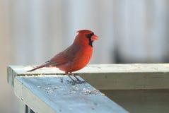 кардинальный красный цвет Стоковое Изображение
