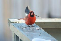 кардинальный красный цвет Стоковое Фото