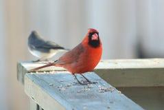 кардинальный красный цвет Стоковое фото RF