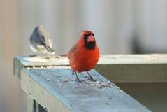 кардинальный красный цвет Стоковая Фотография