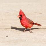 кардинальный мужчина Стоковая Фотография