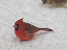 кардинальный мыжской снежок Стоковая Фотография RF