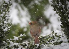 кардинальный северный снежок Стоковые Фото