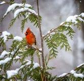 кардинальный северный снежок Стоковые Фотографии RF