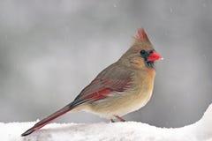 кардинальный снежок Стоковое Изображение