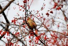 кардинальный цвет я люблю очень славное северное фото очень стоковое изображение