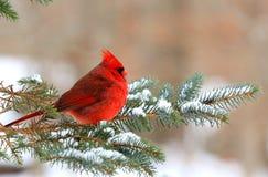 кардинальный цвет я люблю очень славное северное фото очень Стоковые Фото