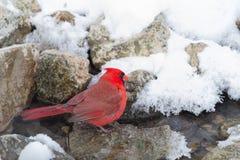 кардинальный цвет я люблю очень славное северное фото очень Стоковая Фотография