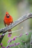 кардинальный цвет я люблю очень славное северное фото очень Стоковые Изображения RF