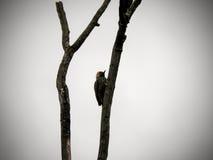 Кардинальный Woodpecker 3 Стоковые Фотографии RF