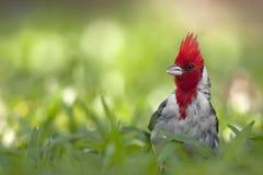 Кардинал crested красным цветом в траве Стоковое Изображение