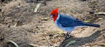 Кардинал crested красным цветом Стоковая Фотография RF