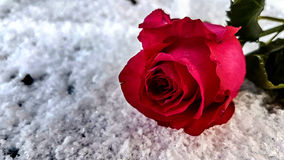 Касание розы стоковые изображения