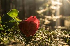 Касание розы стоковые фото