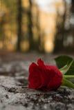 Касание розы стоковое фото