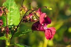 Касани-я-не цветок Стоковые Фотографии RF