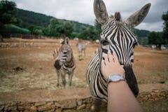 Касаться зебре в зоопарке Италии сафари apulia Fasano стоковые фотографии rf