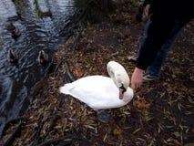 Касаться прирученному лебедю Стоковая Фотография RF