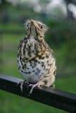 Птица младенца Стоковая Фотография